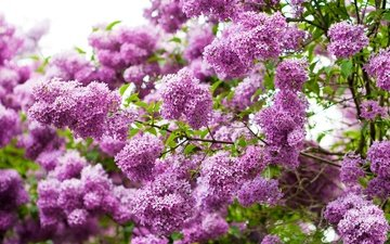 flowers, tree, flowering, branches, spring, lilac