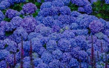 цветы, голубые, соцветия, гортензия