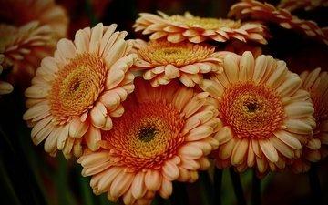 flowers, petals, gerbera