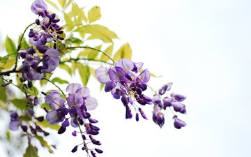 flowers, flowering, leaves, branches, white background, bunches, wisteria