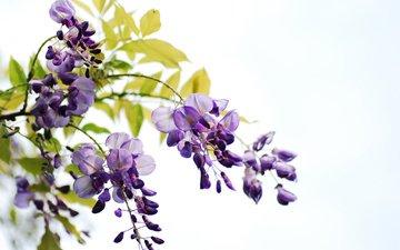 цветы, цветение, листья, ветки, белый фон, гроздья, глициния