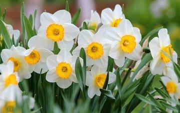 цветы, природа, цветение, весна, нарциссы