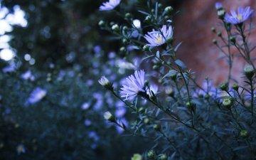 цветы, природа, лепестки, стебли, голубые, астра татарская