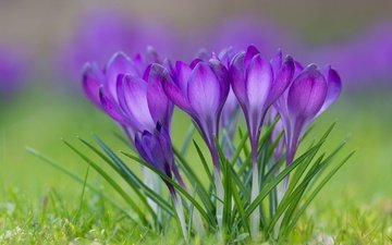 flowers, grass, flowering, petals, spring, crocuses