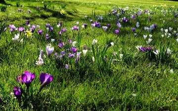 flowers, grass, the sun, greens, field, spring, crocuses