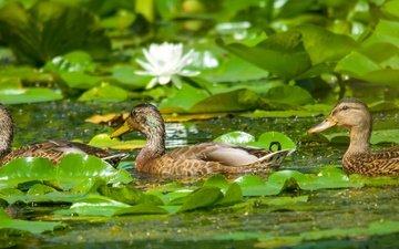 цветы, вода, листья, птицы, пруд, лилии, утки, кувшинки, кряква