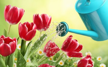flowers, water, buds, drops, petals, spring, chamomile, tulips, lake