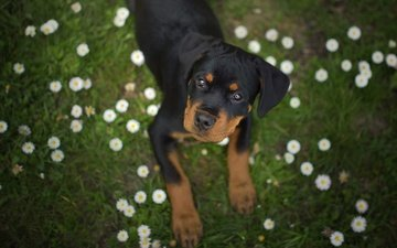 flowers, grass, muzzle, look, dog, puppy, rottweiler, daisy