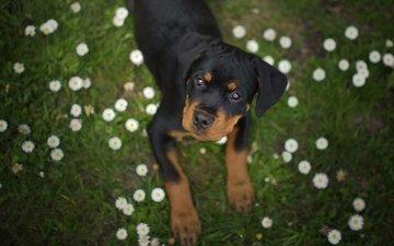 цветы, трава, мордочка, взгляд, собака, щенок, ротвейлер, маргаритки