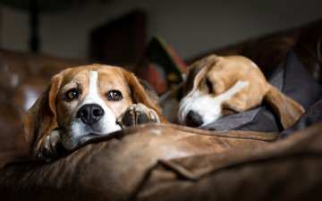 мордочка, взгляд, сон, диван, лежат, собаки, бигль