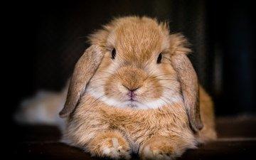 фон, мордочка, взгляд, кролик