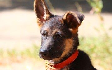 фон, мордочка, взгляд, собака, щенок, ошейник, немецкая овчарка