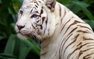 tiger, eyes, face, mustache, look, predator, wild cat, white tiger