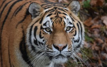 tiger, eyes, face, mustache, look, predator, wild cat, the amur tiger