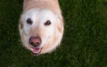 глаза, трава, мордочка, взгляд, собака, лабрадор