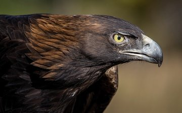 predator, bird, beak, feathers, eyes, eagle