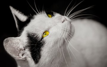 cat, muzzle, mustache, look, black background, yellow eyes