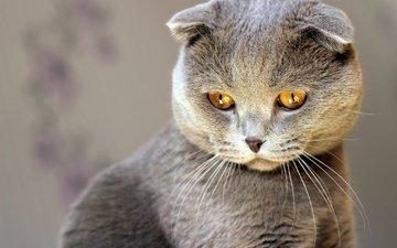 cat, muzzle, mustache, look, scottish fold