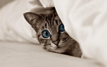 кот, мордочка, усы, кошка, взгляд, котенок, голубые глаза