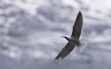 the sky, clouds, flight, wings, bird, beak, feathers, tern