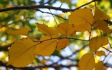 листья, фон, ветки, осень, боке