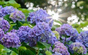 цветы, лучи солнца, размытость, соцветия, гортензия