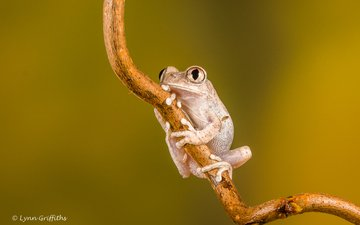 глаза, ветка, природа, фон, лягушка, лапки, lynn griffiths