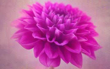 макро, цветок, лепестки, бутон, георгин