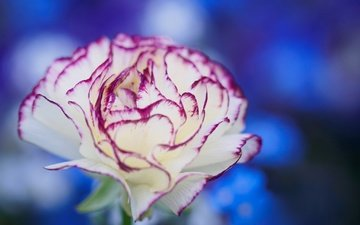 macro, flower, petals, bokeh, carnation