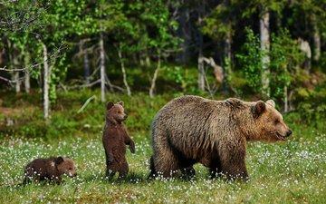 трава, природа, полевые цветы, медведи, медведица, медвежата