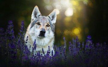 морда, цветы, лаванда, взгляд, собака, чехословацкая волчья собака
