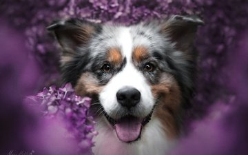 face, flowers, smile, portrait, look, dog, joy, language, bokeh, australian shepherd, aussie