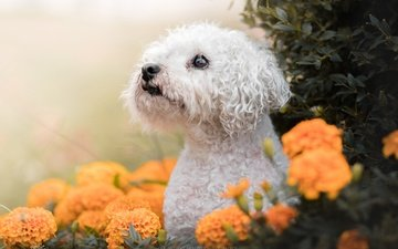 морда, цветы, взгляд, собака, бархатцы, болонка