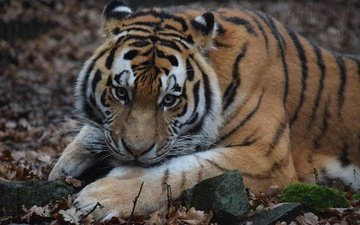 tiger, face, wool, look, predator, wild cat, the amur tiger