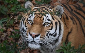 tiger, face, look, predator, wild cat, the amur tiger