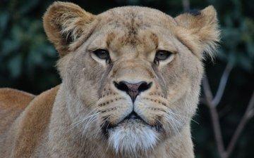 face, look, predator, leo, lioness, wild cat