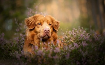 face, look, dog, bokeh, heather, nova scotia duck tolling retriever