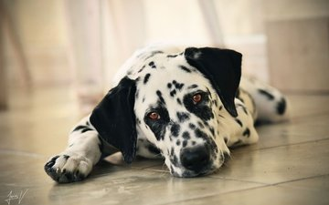 face, look, dog, dalmatian, on the floor