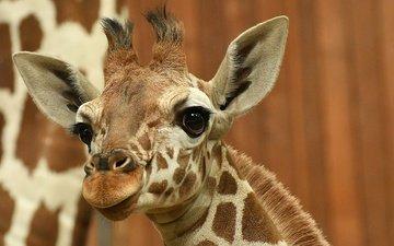глаза, морда, взгляд, уши, жираф