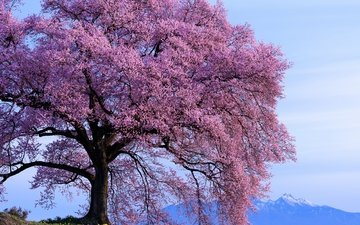 the sky, mountains, tree, flowering, spring, sunny