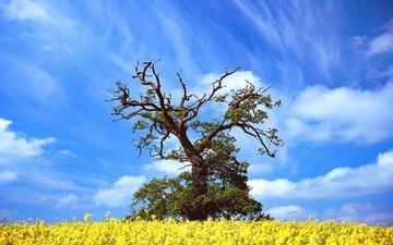 небо, цветы, облака, дерево, весна, рапс