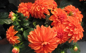 flowers, buds, petals, orange, dahlias