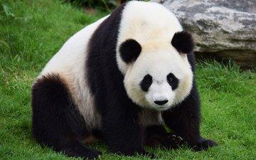 морда, трава, взгляд, панда, бамбуковый медведь, большая панда