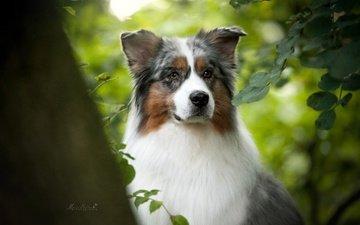 портрет, мордочка, ветки, взгляд, собака, австралийская овчарка, аусси