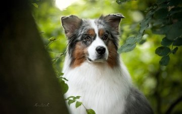 portrait, muzzle, branches, look, dog, australian shepherd, aussie