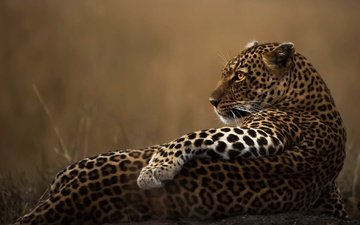 pose, look, leopard, predator, profile, animal, paw, wild cat