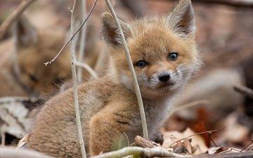 природа, мордочка, взгляд, осень, лиса, лисица, лисенок