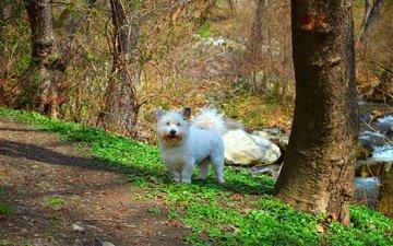природа, мордочка, взгляд, собака, щенок, вест-хайленд-уайт-терьер