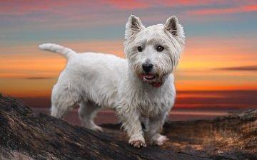мордочка, взгляд, собака, щенок, вест-хайленд-уайт-терьер