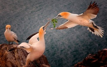 rocks, sea, wings, height, birds, beak, feathers, gannet, the northern gannet